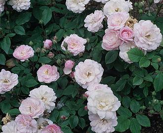 Rosa 'Blush Noisette' - Image: Rosa 'Blush Noisette'