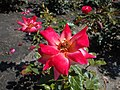 Rosa Piccadilly 2018-07-16 6530.jpg