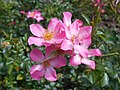 Rosa Pink Cover 2018-07-08 4091.jpg