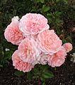Rosa apricot drift.jpg