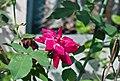 Rosa indica 09032014 02.jpg