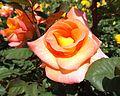 Rosa mardi gras.jpg