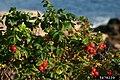 Rosa rugosa fruit (48).jpg