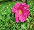 Rosa rugosa inflorescence (25).jpg