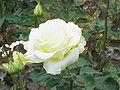 Rosa sp.91.jpg