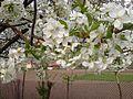 Rosales - Prunus cerasus 3.jpg
