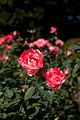 Rose, Orange Splash - Flickr - nekonomania (6).jpg