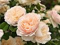 Rose, Troilus, バラ, トロイラス, (13150160535).jpg