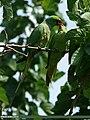 Rose-ringed Parakeet (Psittacula krameri) (19860117132).jpg