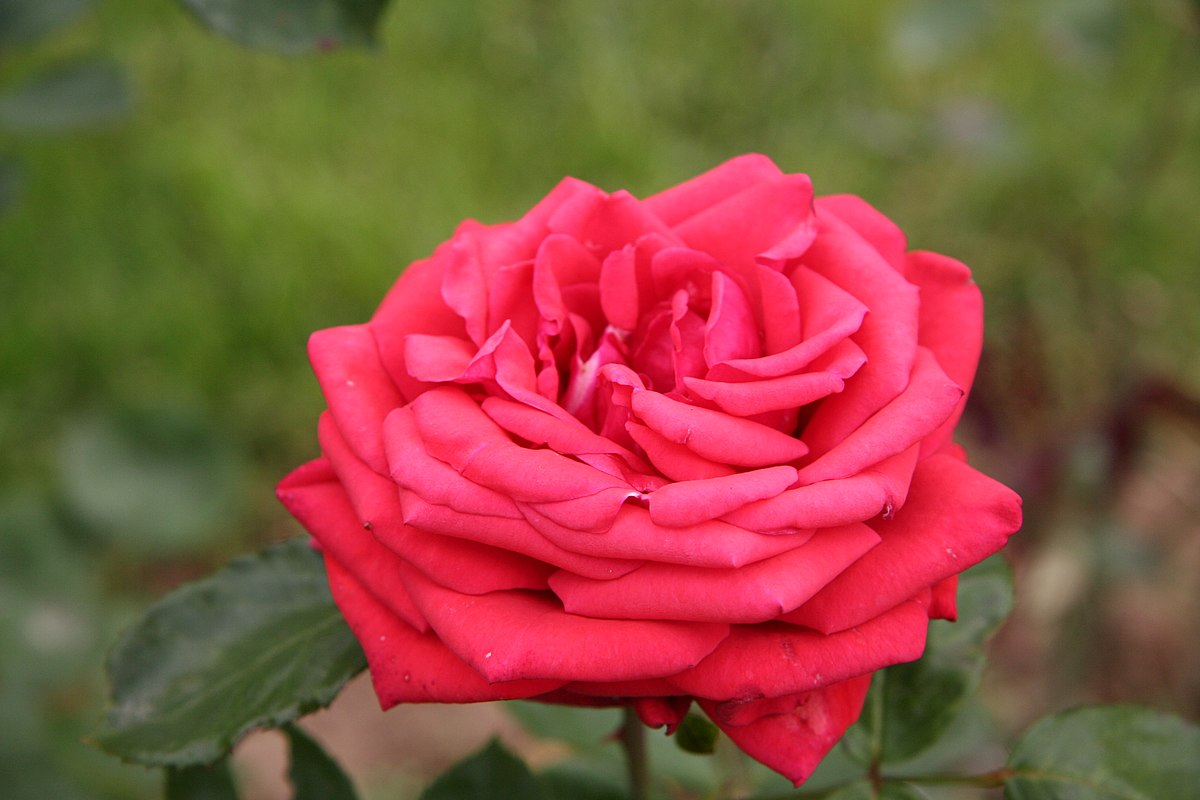 Rosa Cultivars B Wikimedia Commons