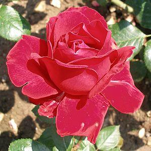 Rosa 'Ingrid Bergman' - Image: Rose Ingrid Bergmann