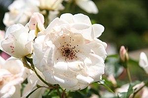 English: Unknown rose - Bagatelle Rose Garden ...