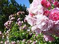 Roses (4426120529).jpg