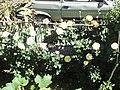 Roses - panoramio (3).jpg