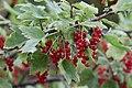 Rote Johannisbeeren (14788250552).jpg