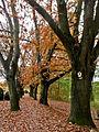 Eichenallee-Roteiche (Quercus rubra)