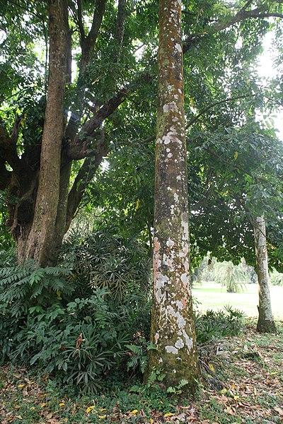 File:Roystonea Oleracea 01.jpg