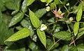 Rubus illecebrosus (bud s2).jpg
