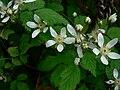 Rubus ursinus 10689.JPG