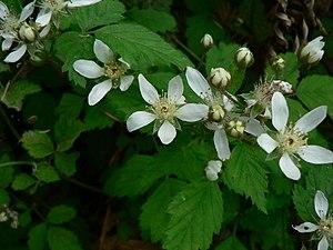 Rubus ursinus - Image: Rubus ursinus 10689