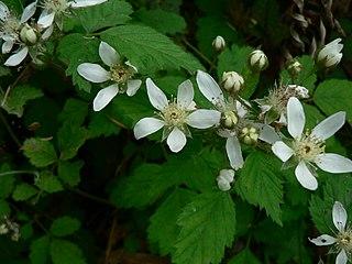 <i>Rubus ursinus</i> species of plant