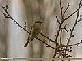 Rufous-backed Redstart (Phoenicurus erythronotus) (25160529170).jpg