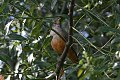 Rufous-bellied Thrush (Turdus rufiventris) (8077538141).jpg