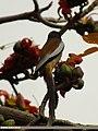 Rufous Treepie (Dendrocitta vagabunda) (15705900108).jpg