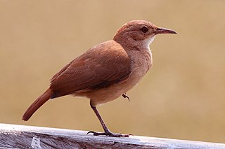 Rufous hornero species of bird