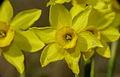 Rushleaf Jonquils (Narcissus assoanus) (8578884904).jpg