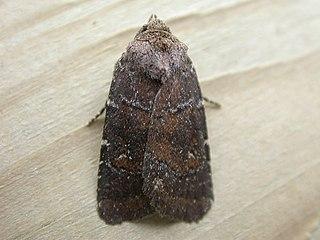 <i>Rusina ferruginea</i> Species of moth