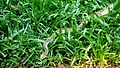 Russell's Viper slithering in the tall grass.jpg