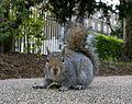 Russell Square Gardens Grauhörnchen (4075141341).jpg