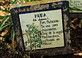 Ruta chalepensis en el jardín botánico.JPG