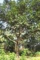 SZ 深圳 Shenzhen 福田 Futian 蓮花山 Lianhuashan Park Dec-2017 IX1 習近平種的樹 The tree planted by Xi Jinping n tree crown.jpg