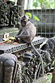 Sacred Bali Monkey Forest' grey macaque and offerings.jpg