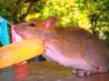 Safari Park Rat 3.png