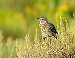 Sage thrasher (Oreoscoptes montanus) Seedskadee National Wildlife Refuge (20331556608).jpg