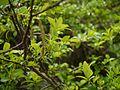 Salix ¿ calyculata - wallichiana ? (7837956206).jpg