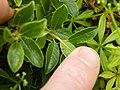 Salix arbuscula Leaf petiole.JPG