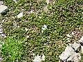 Salix herbacea001.jpg