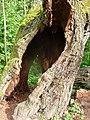 Salix hollow tree FRA-Niddapark 04.jpg