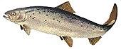 Laks kværner og lakseørred er nogen af de fiskearter som findes i Emån.