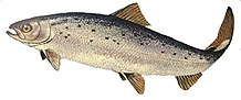 Wild-type Atlantic salmon (Salmo salar).