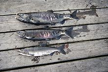 Salmon (breeding color).jpg