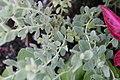 Salvia chamaedryoides 2zz.jpg