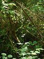 Salvia japonica akinotamurasu02.jpg