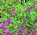 Salvia muelleri 1.jpg