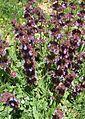 Salvia multicaulis.jpg
