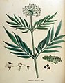 Sambucus ebulus — Flora Batava — Volume v18 cropped.jpg